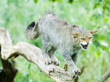 Wild Cat Adult in Aggressive Pose, UK Fotografisk tryk af Mike Powles
