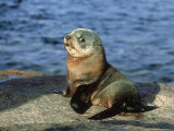 New Zealand Fur Seal, Arctocephalus Forsteri South Australia Fotografie-Druck von Gerard Soury