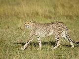 Cheetah, Female Striding, Maasai Mara, Kenya Fotografisk tryk af Mike Powles