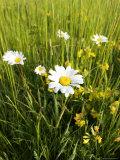 Wildflower Meadow, UK Fotografisk tryk af Mike Powles