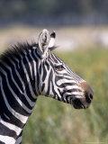 Burchells Zebra, Stallion Head Profile, Kenya Fotografisk tryk af Mike Powles