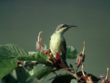 Purple Sunbird, Gal Oya National Park, Sri Lanka Fotografisk tryk af Mary Plage