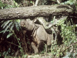 Javan Rhinoceros, Ujung Kulon, Indonesia Fotografisk tryk af Mary Plage
