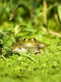 Marsh Frog, Adult, UK Fotografisk tryk af Mike Powles