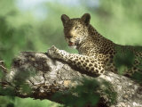 Leopard, Resting in Tree During Heat of the Day, Botswana Fotografisk tryk af Richard Packwood