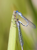 Common Damselfly, Male and Female Pre Wheel Position, UK Fotografisk tryk af Mike Powles