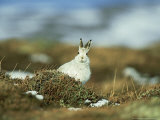 Mountain (Blue) Hare, Monadhliath Mtns, Scotland Fotografisk tryk af Richard Packwood