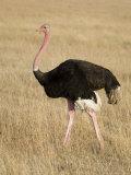 Ostrich, Male in Breeding Plumage, Kenya Fotografisk tryk af Mike Powles