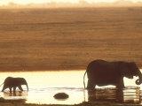 African Elephant, Crossing Chobe River, Botswana Fotografisk tryk af Richard Packwood