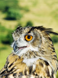 Eagle Owl, Portrait of Captive Adult, UK Fotografisk tryk af Mike Powles