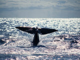 Sperm Whale, About to Dive, Portugal Photographic Print by Gerard Soury