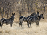 Crawshays Zebra, Small Group in Bush, Tanzania Fotografisk tryk af Mike Powles