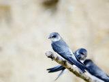 Sand Martin, Fledged Juvenile, UK Fotografisk tryk af Mike Powles