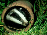 Badger, Young, UK Photographic Print by Les Stocker