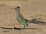 Greater Roadrunner, New Mexico Reproduction photographique par David Tipling