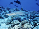 Whitetip Reef Shark, Swimming, Polynesia Photographic Print by Gerard Soury