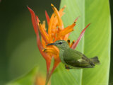 Red-Legged Honeycreeper, Female on Flower, Costa Rica Reproduction photographique par Roy Toft