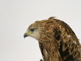 Red Kite Photographic Print by Les Stocker