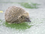 Hedgehog, UK Photographic Print by Les Stocker