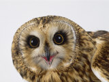 Short-Eared Owl, Asio Flammeus Photographic Print by Les Stocker