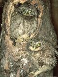 Little Owl, Juvenile, England Photographic Print by Les Stocker