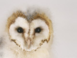 Barn Owl, Portrait of Face Photographic Print by Les Stocker