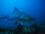 Tiger Shark, Swimming, South Africa Photographic Print by Gerard Soury