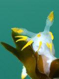 Nudibranch, Feeding, UK Reproduction photographique par Mark Webster