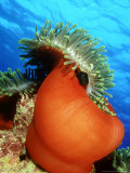 Red Anemone, St. Johns Reef, Red Sea Photographic Print by Mark Webster