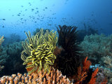 Feather Star, Komodo, Indonesia Reproduction photographique par Mark Webster