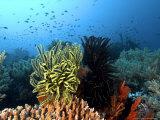 Feather Star, Komodo, Indonesia Fotografisk trykk av Mark Webster