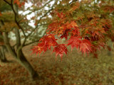 Japanese Maple, Leaves, Sussex, UK Photographic Print by Ian West