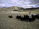 Yaks, Tibet Fotografisk tryk af Michael Brown
