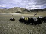 Yaks, Tibet Lámina fotográfica por Michael Brown