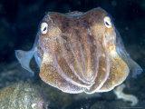 Cuttlefish, Portrait, UK Fotografie-Druck von Mark Webster
