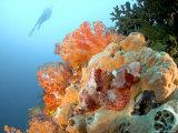 Bearded Scorpion Fish on Coral, Indonesia Fotografisk trykk av Mark Webster