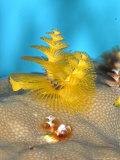 Christmas Tree Worm, St. Johns Reef, Red Sea Fotografisk trykk av Mark Webster