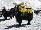 A Sponsered Yak, Nepal Fotografisk tryk af Michael Brown