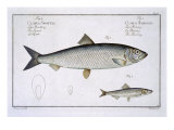 Herring Giclee Print by Andreas-ludwig Kruger