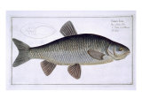Chub Giclee Print by Andreas-ludwig Kruger