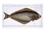 Halibut Giclee Print by Andreas-ludwig Kruger