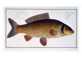 Carp Giclee Print by Andreas-ludwig Kruger