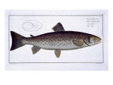 Sea Trout Giclee Print by Andreas-ludwig Kruger