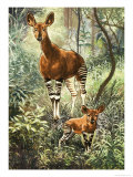 Okapis of the Congo Lámina giclée
