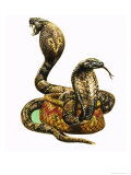 King Cobras Giclee Print by George R. Radcliffe