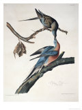 Passenger Pigeon, from Birds of America, Engraved by Robert Havell Giclee Print by John James Audubon