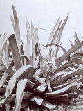 Mexican with Large Skin Container Tied to His Back is Climbing up a Huge Agave Photographic Print
