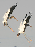 A Pair of Wood Storks Reproduction photographique