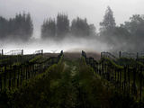 Morning Fog Rises from a Vineyard North of Sonoma, Calif. Lámina fotográfica prémium