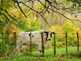 Cow and Farmland, Taoroa Junction, Rangitikei, North Island, New Zealand Fotografisk tryk af David Wall